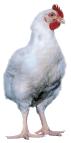 Gallina Broiler Blanca